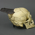 Spanish Conquistador skull Stolen from Tucson Gem and Mineral World