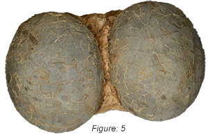 Figure: 5, This company offers various levels of counterfeit Hadrosaur eggs that vary in price and appearance